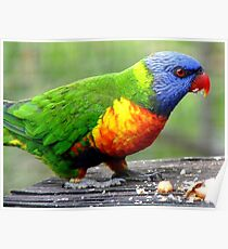I'm Nuts About Nuts! - Rainbow Lorikeet - Maple Glen NZ Poster