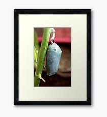 Caterpillar To Wings! - Monarch Chrysalis Pupae - NZ Framed Print