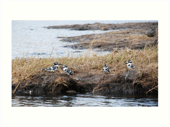 Four Pied Kingfishers by Susan Harley
