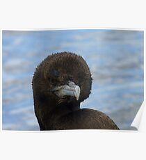 Rare Opportunity Touching NZ Wild Bird- Cormorant/Shag - NZ Poster