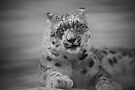 Snow Leopard in Black and White by Sandy Keeton