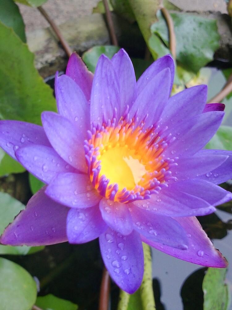 Lotus by pixmate