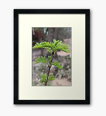 young fresh foliage mountain ash Framed Print