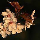 Blossoms At Sunrise by Holly Cawfield