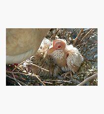 Pterodactyl - Beautiful-Ugly - Baby Collard Dove - NZ Photographic Print