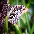 Owl Butterfly by Yukondick