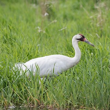 Whooping Crane 2017-2 by Thomasyoung
