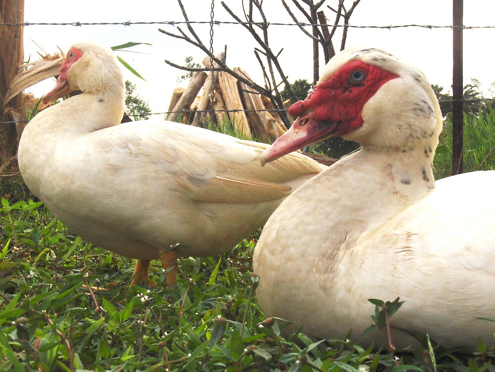 muscovy ducks by Diana Forgione