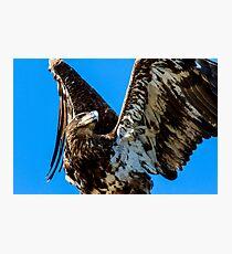 Bald Eagle Immature Photographic Print
