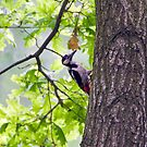 Great spotted woodpecker (Dendrocopos major)  by MarekM