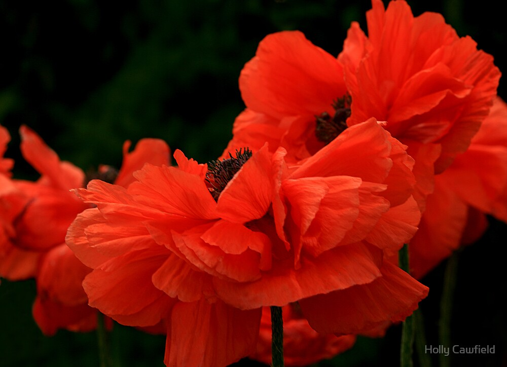 Poppy Petals by Holly Cawfield