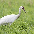 Whooping Crane 2017-3 by Thomas Young