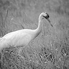 Whooping Crane 2017-4 by Thomas Young