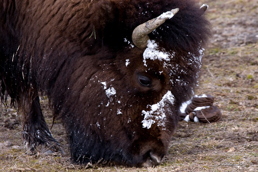 Grazing Buffalo by Judson Joyce