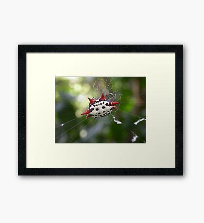 Crab-Like Spiny Orb-Weaver Framed Print
