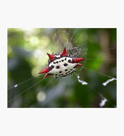 Crab-Like Spiny Orb-Weaver Photographic Print
