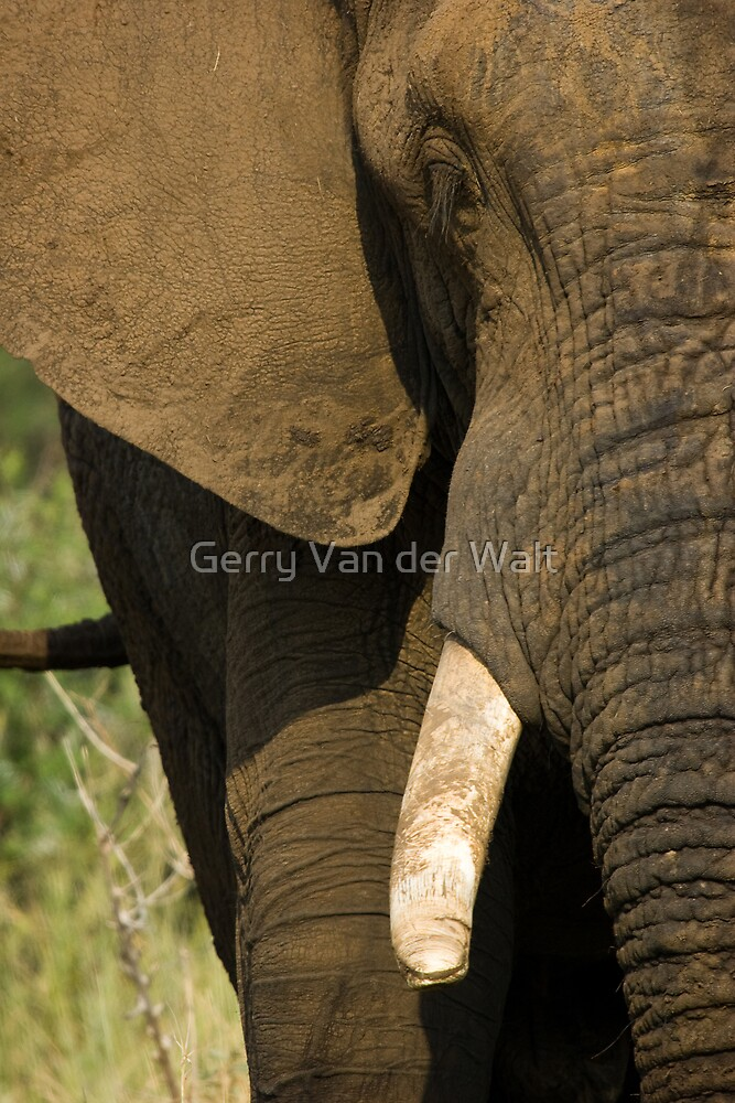 Elephant Frontal by Gerry Van der Walt