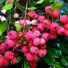 LillyPilly Berries..... by debsphotos