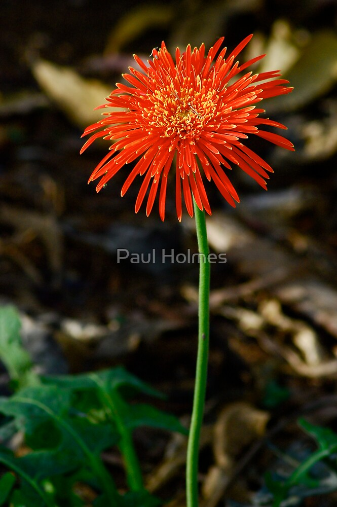 Fireworks Flower by Paul Holmes
