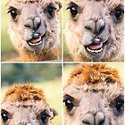 Alpaca by itself in a field  by Rob D
