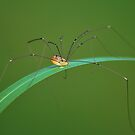 Long Legged Spider by relayer51