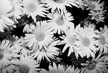 Daisies  by jeffamayes