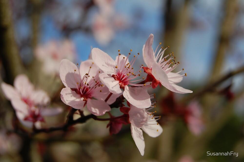 Cherry Blossom by SusannahFry