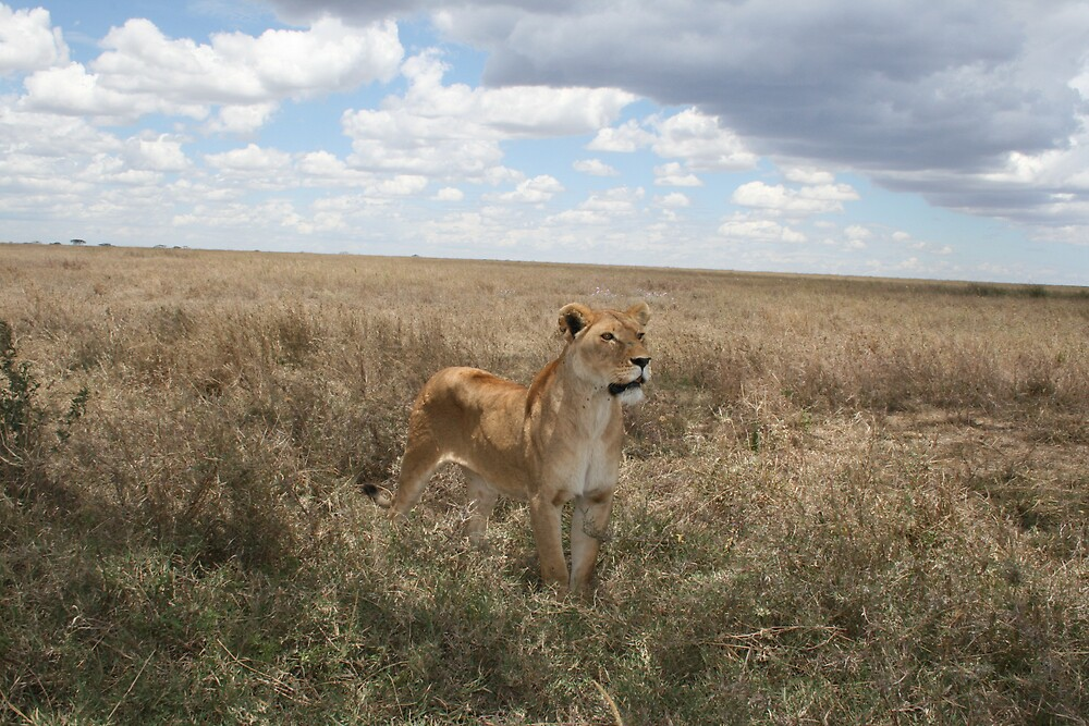 lone lioness by Sharon Cooper