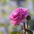 Pink Rose by Martina Cross