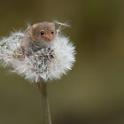 Harvest mouse on dandelion clock by alan tunnicliffe