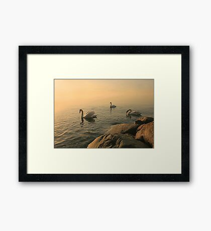A Trio Of Swans At Sunrise Framed Print