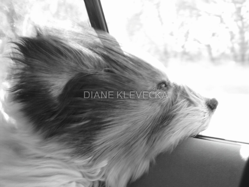 Daisy Dog catching a breeze by DIANE KLEVECKA