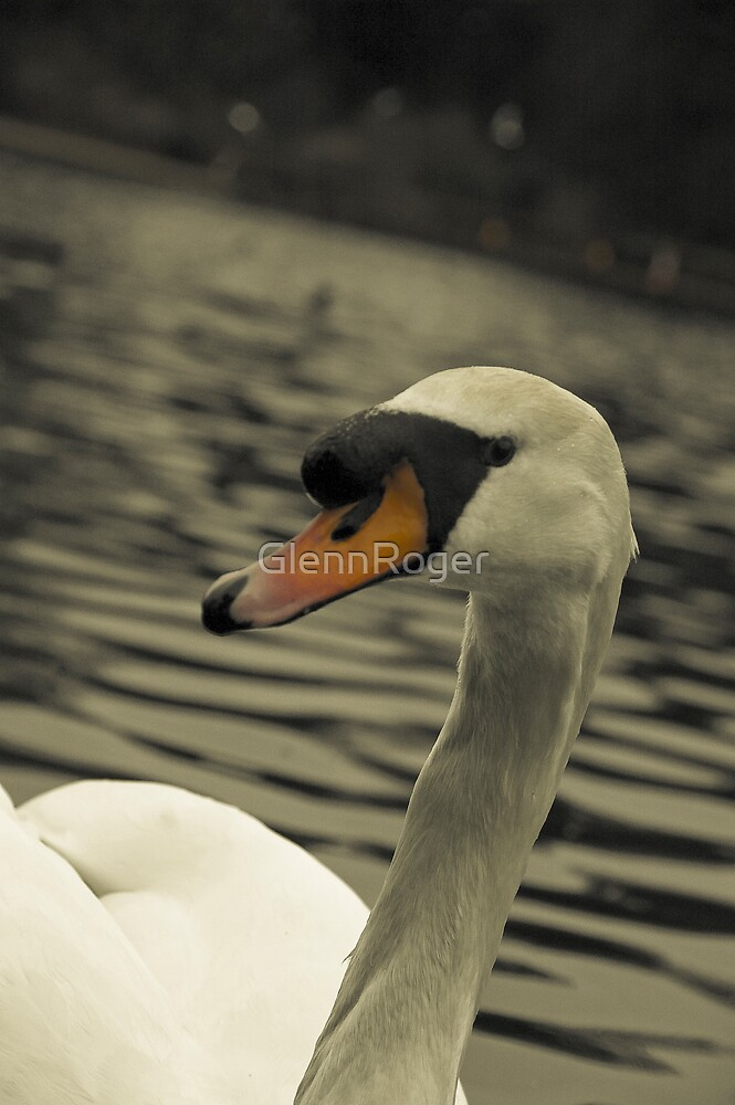 Swan by GlennRoger