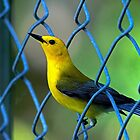 Prothonotary Warbler, by TJ Baccari Photography