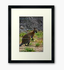 Wallaby Framed Print