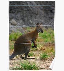 Wallaby Poster