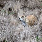 Curious  Prarie  Dog by wallace66