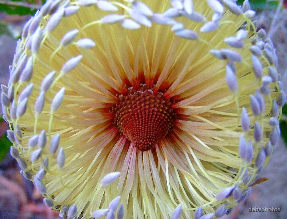 BottleBrush Flower.... by debsphotos