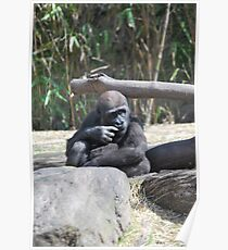Gorilla Baby Sniffing hand Poster