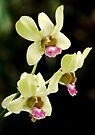 Yellow Orchids by Dave Lloyd