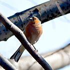 Common chaffinch (Fringilla coelebs) by MarekM
