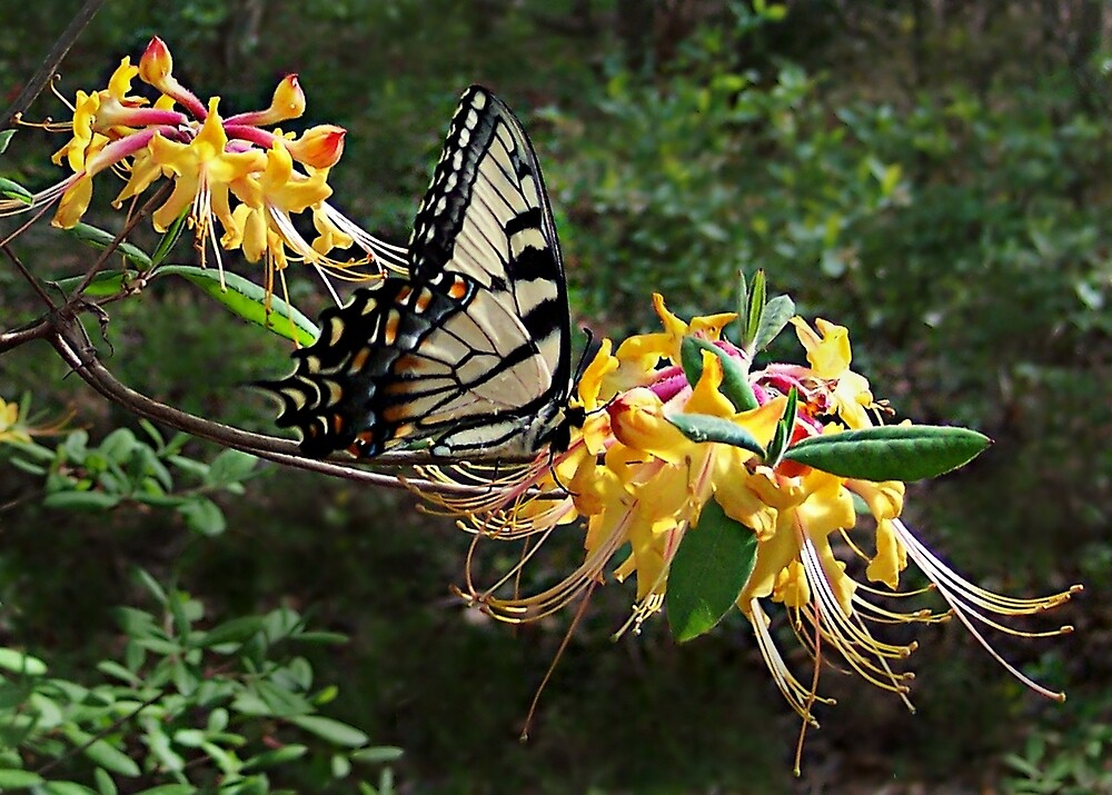 Eastern Tiger Swallowtail (Papilio glaucus) by William Tanneberger