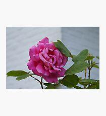 Queen Elisabeth Rose Photographic Print