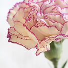 flower White Terry carnation on white by mrivserg