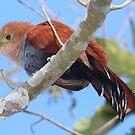Squirrel Cuckoo by hummingbirds