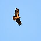 Soaring Red Tail Hawk by Laura Puglia