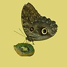 Owl butterfly eating kiwi by hummingbirds
