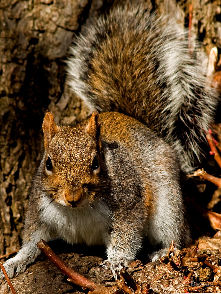 Squirrel by Daveart
