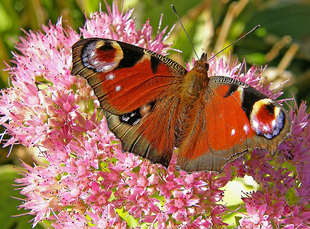 Peacock butterfly on sedum by jay12