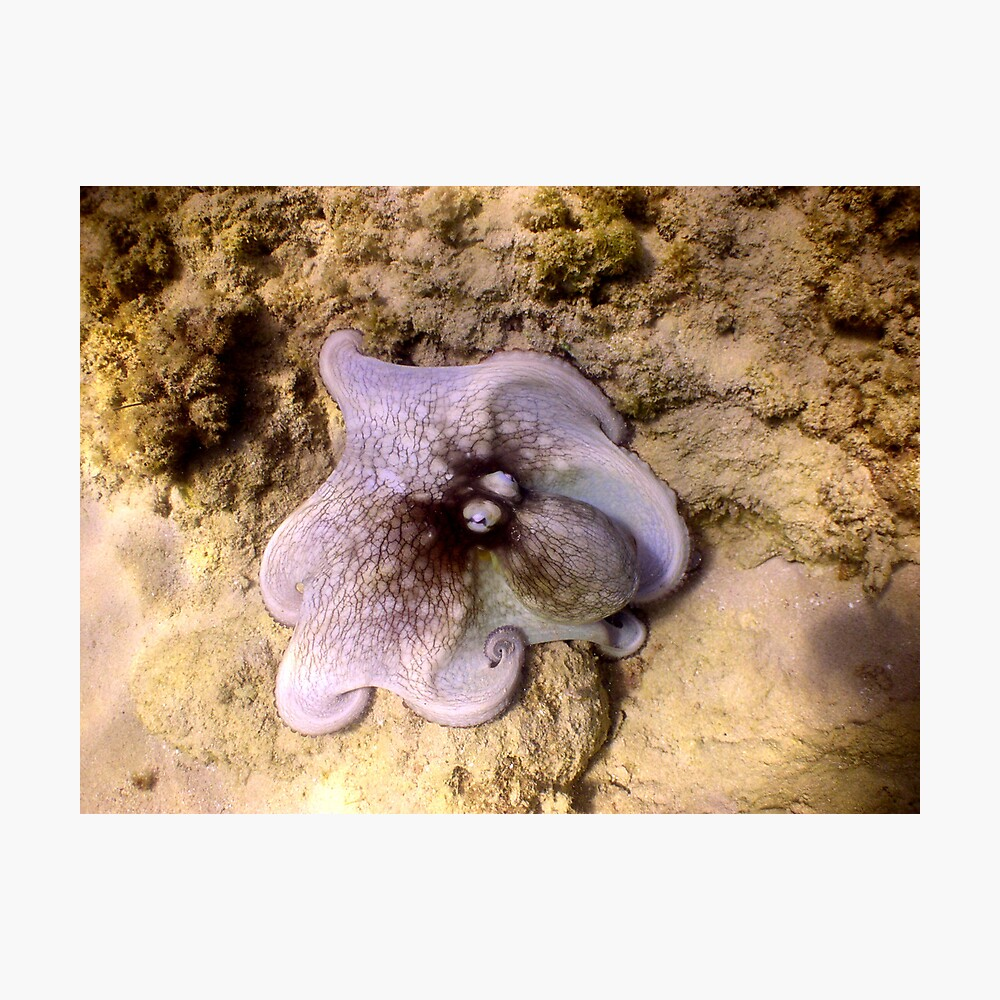 octopus color Photographic Print